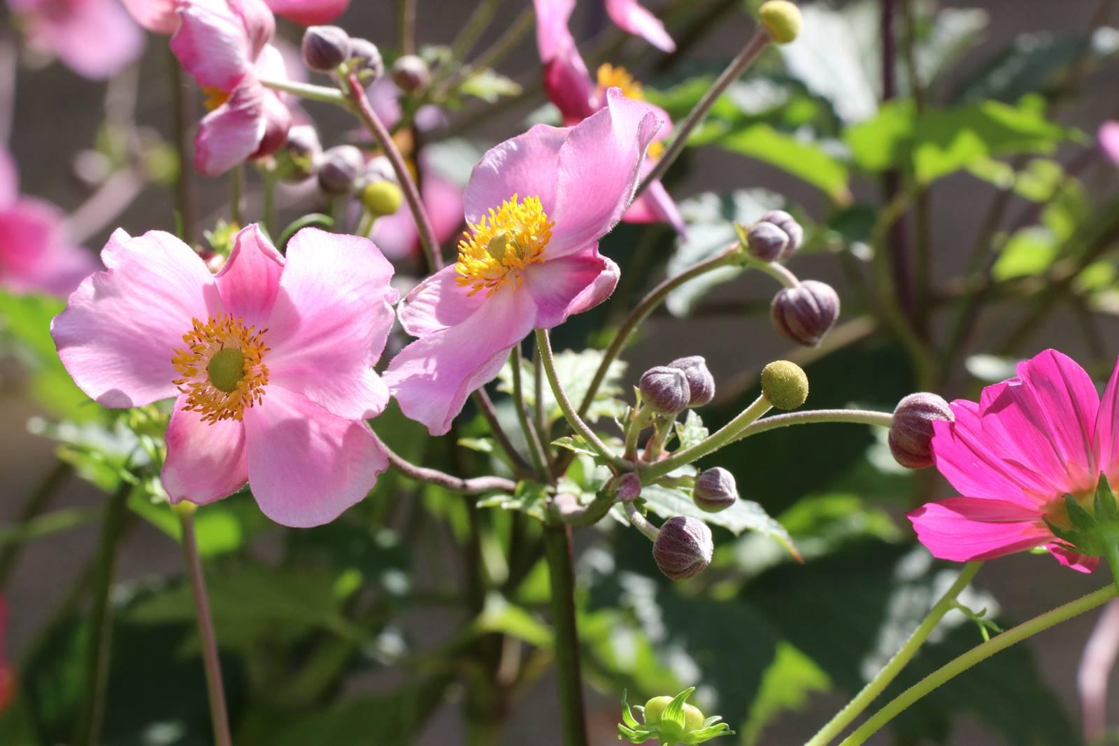 Geranium anémone du Japon