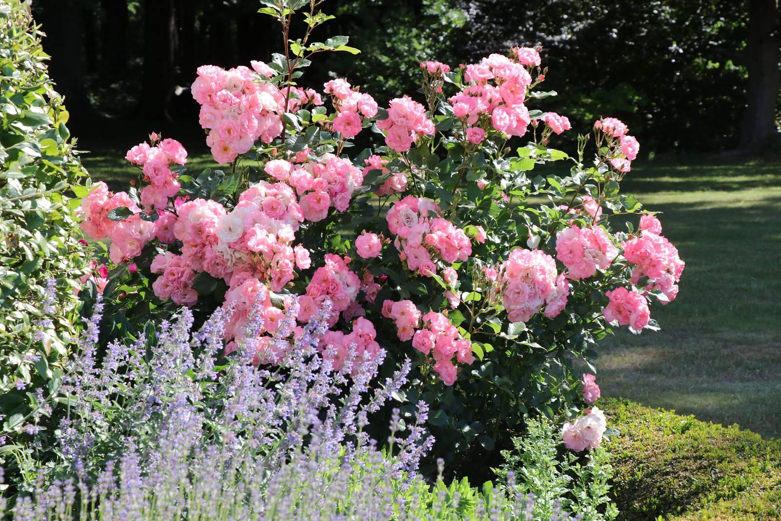 Bois Eloi rosier