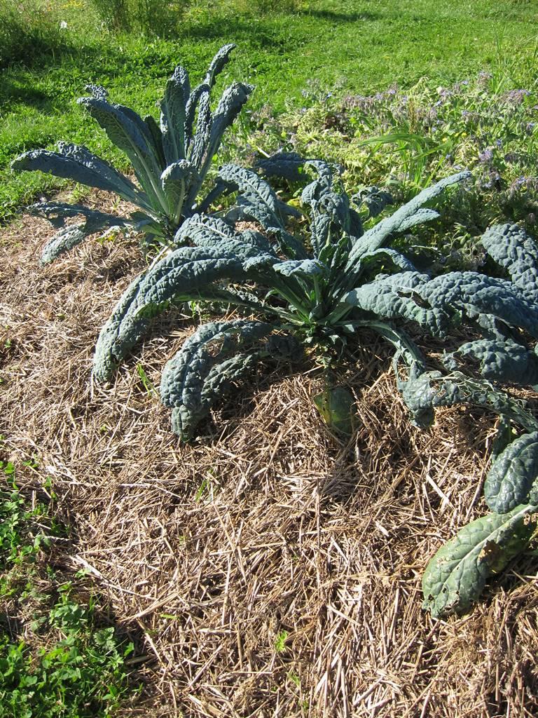 Mulch potager