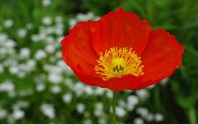 Fleurs bisannuelles, en liberté