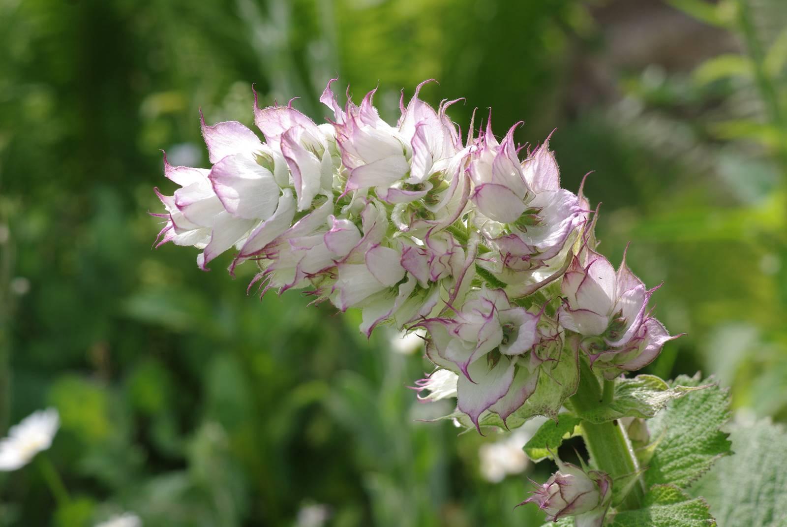 Salvia scalrea