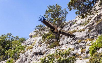 Cres en Croatie, l'île du vautour fauve