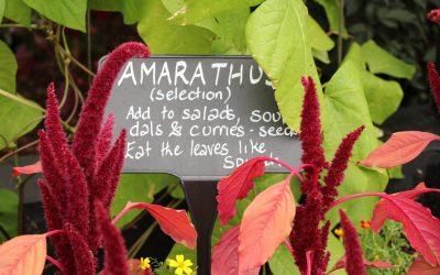 L'Amarante, fleur ou légume?
