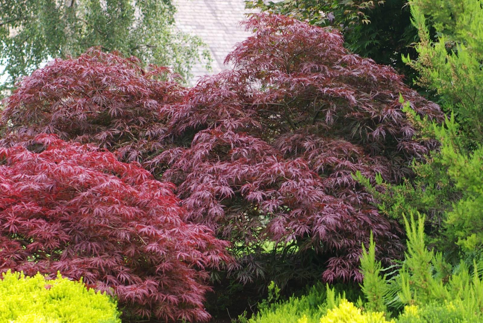 Arbustes au feuillage pourpre