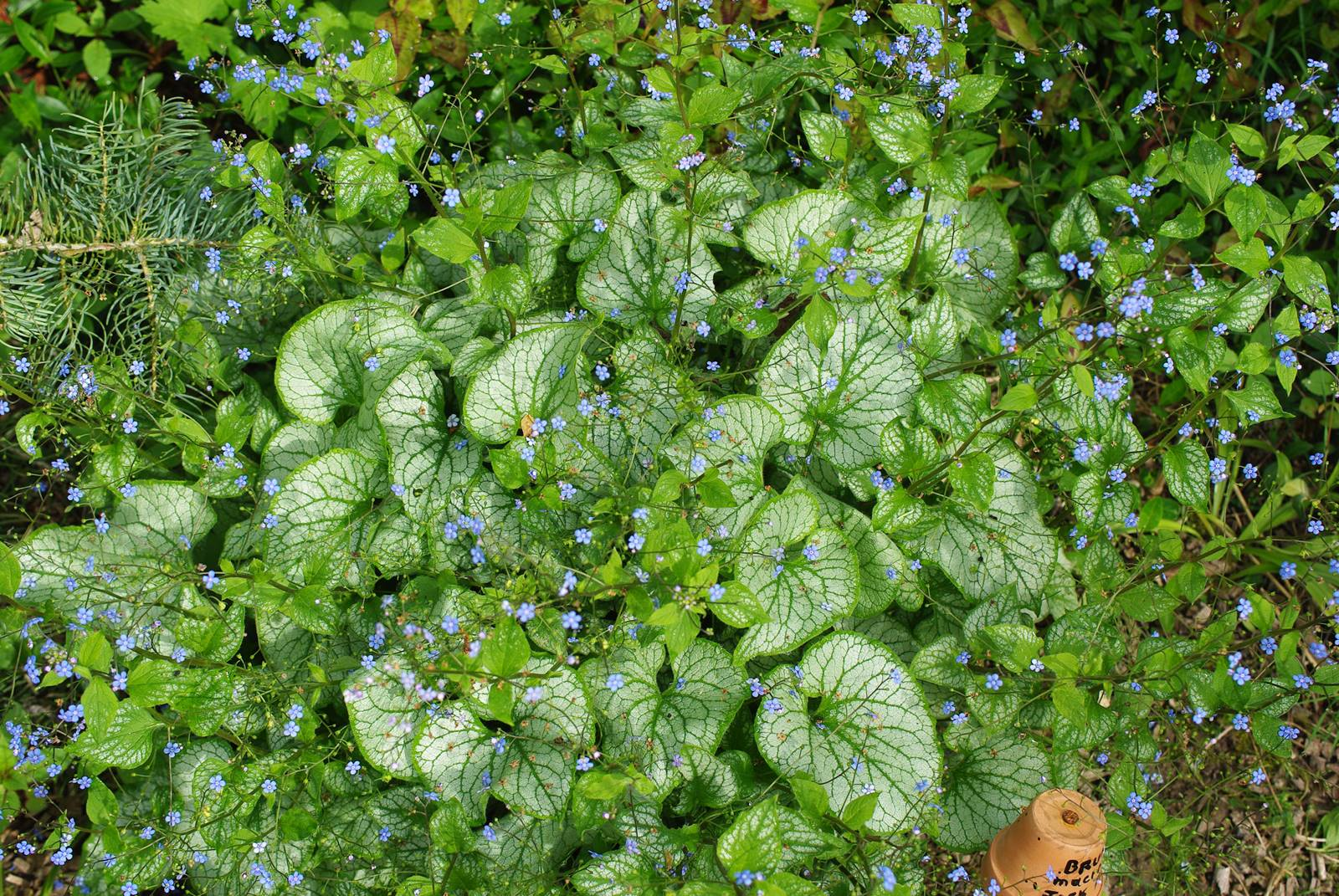 Brunerra macrophylla