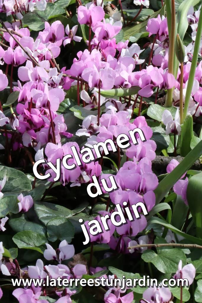 Cyclamen du jardin