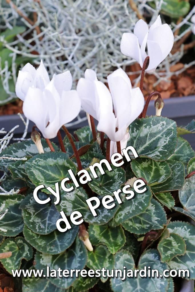 Cyclamen de Perse