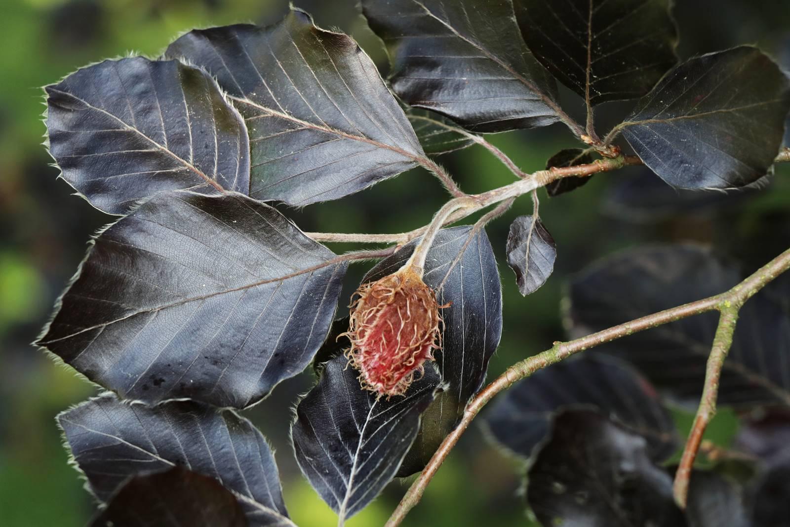 Fagus sylvatica Atropurnicea