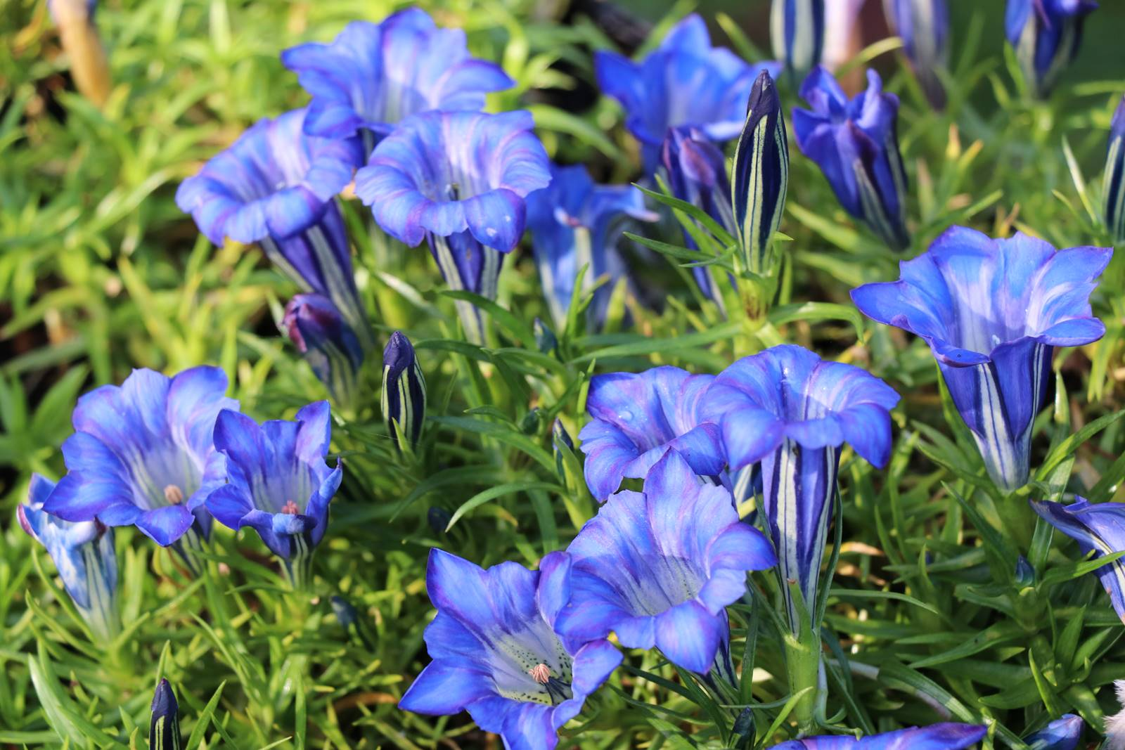 Gentiana sino-ornata Blue Silk