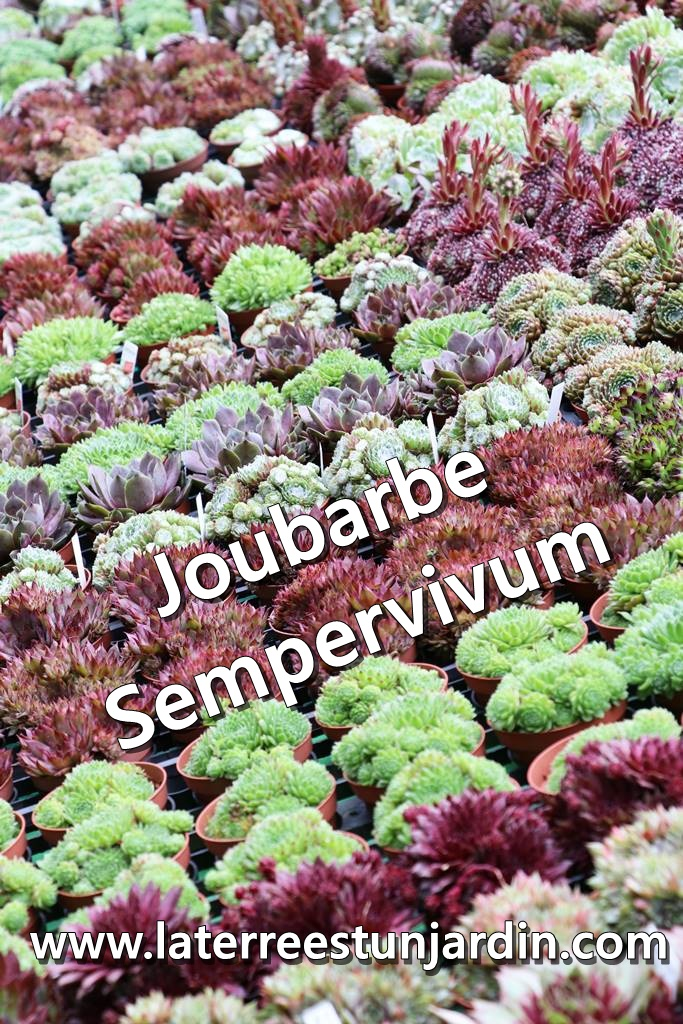 Joubarbe Sempervivum
