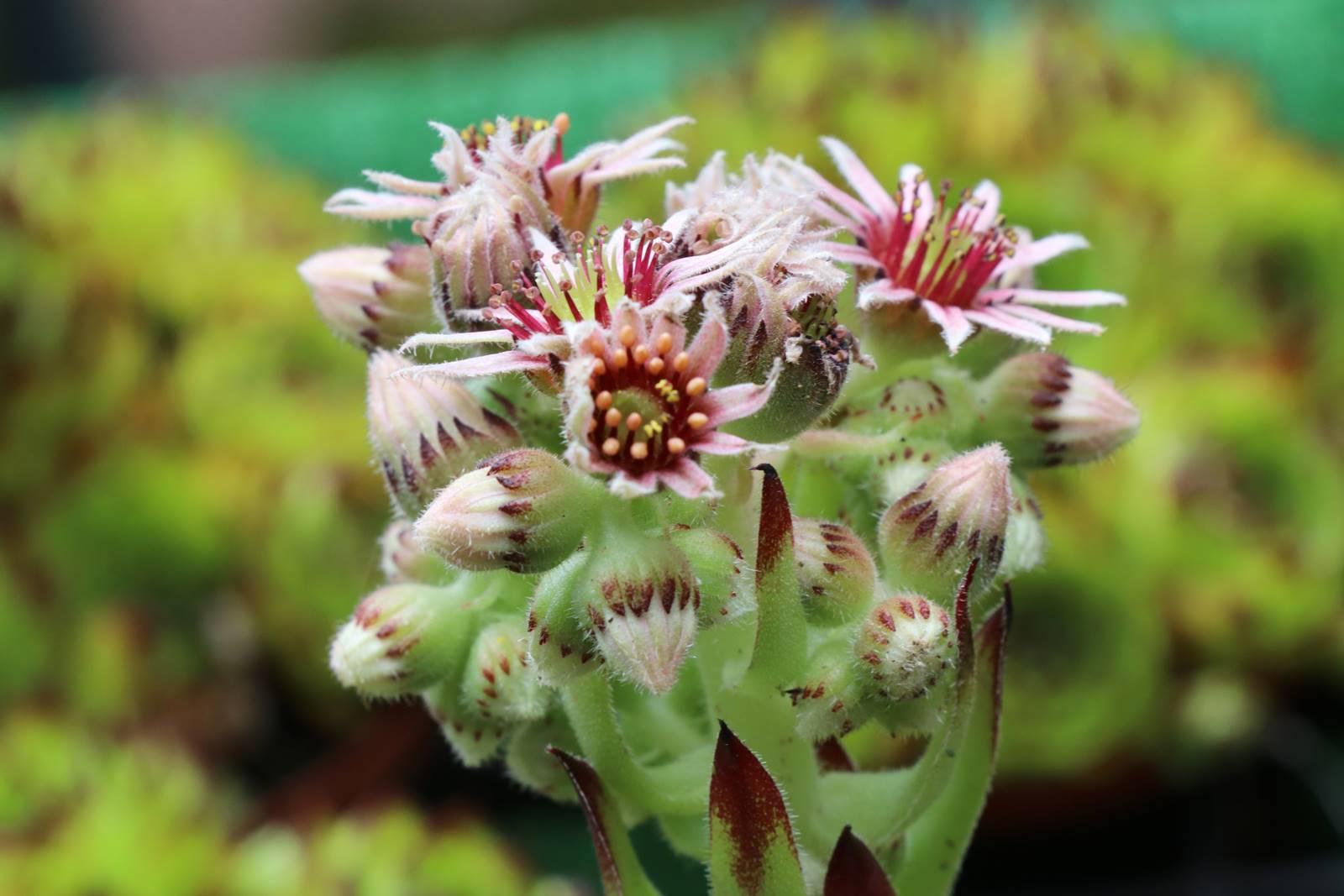 Fleur de la joubarbe