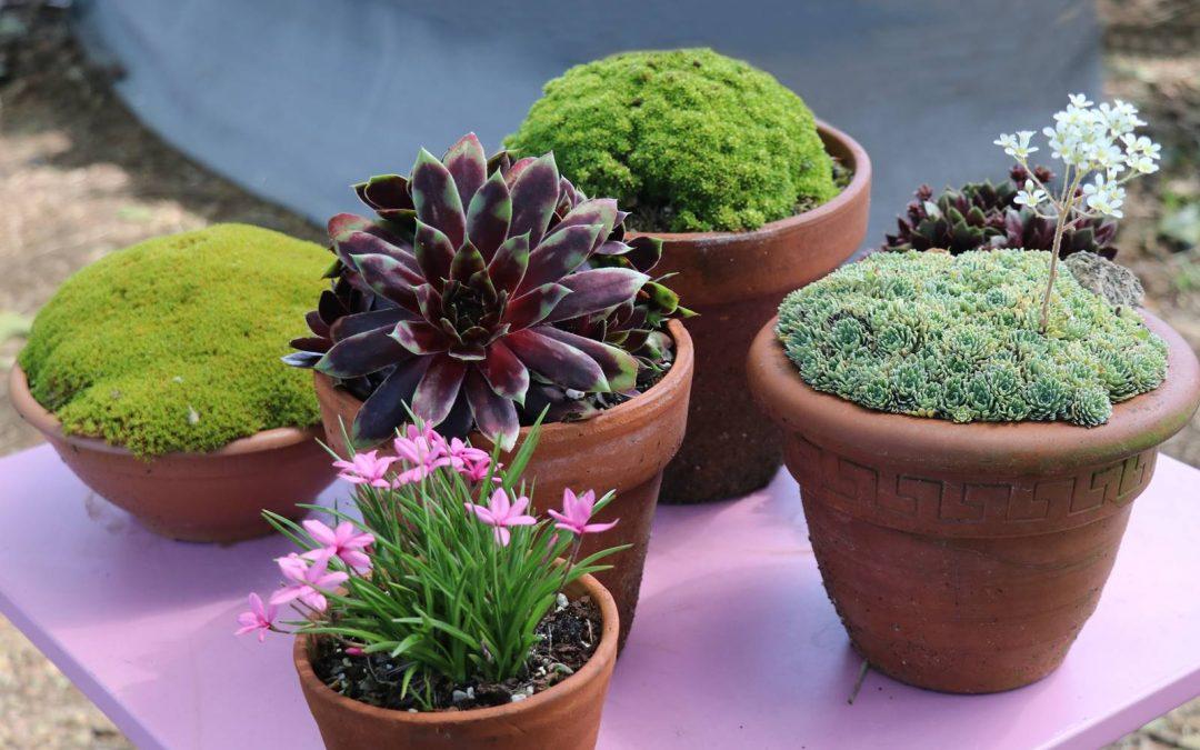 Plantes alpines pour mini rocaille