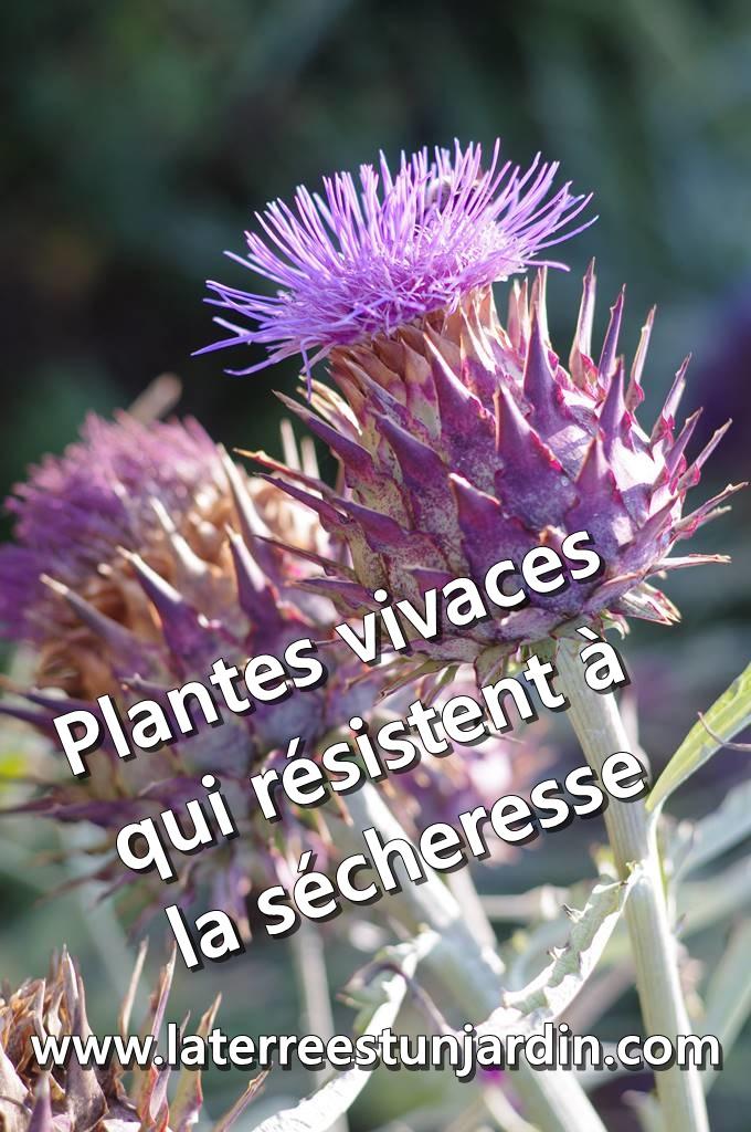 Plantes vivaces sécheresse