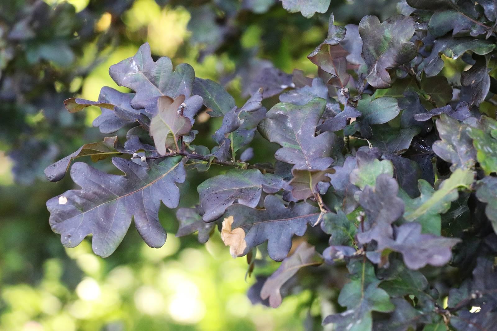 Quercus robur Atropurpurea