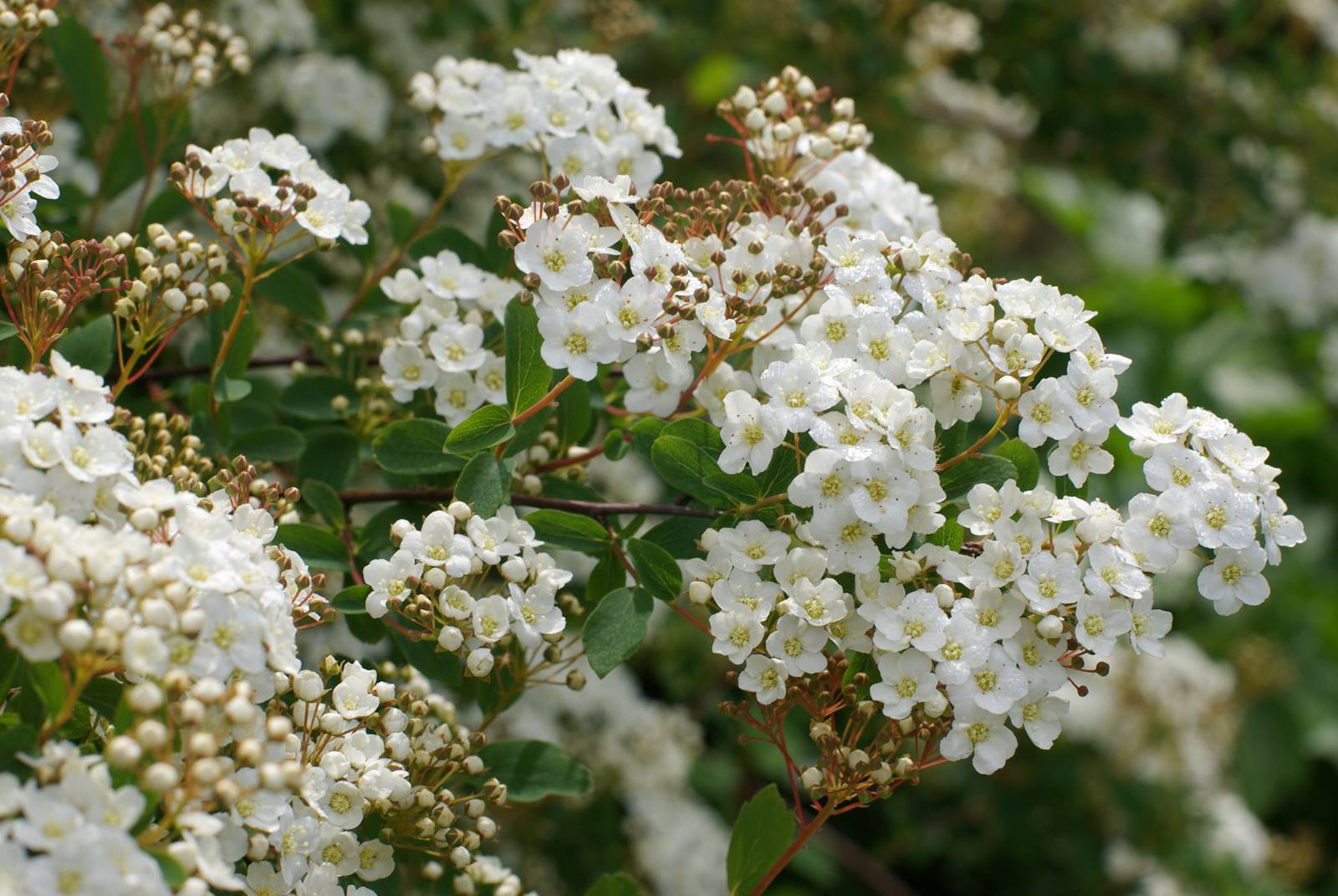 Arbustes printemps sécheresse