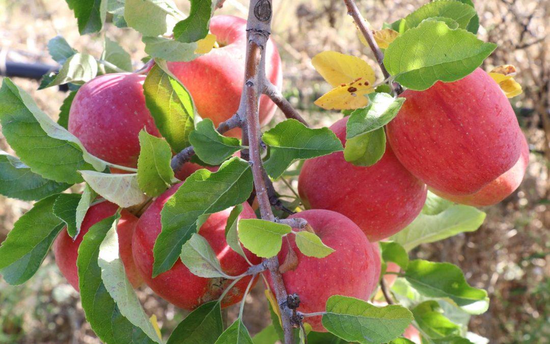 Les arbres fruitiers Delbard pour petits jardins