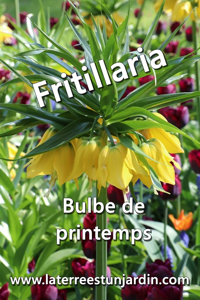 Fritillaire