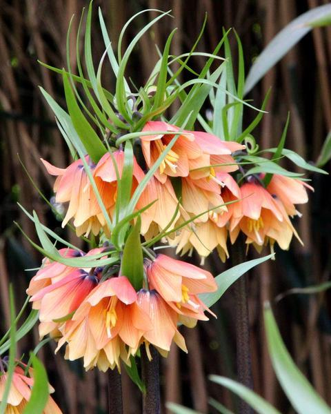 Fritillaria imperialis Early Fantasy