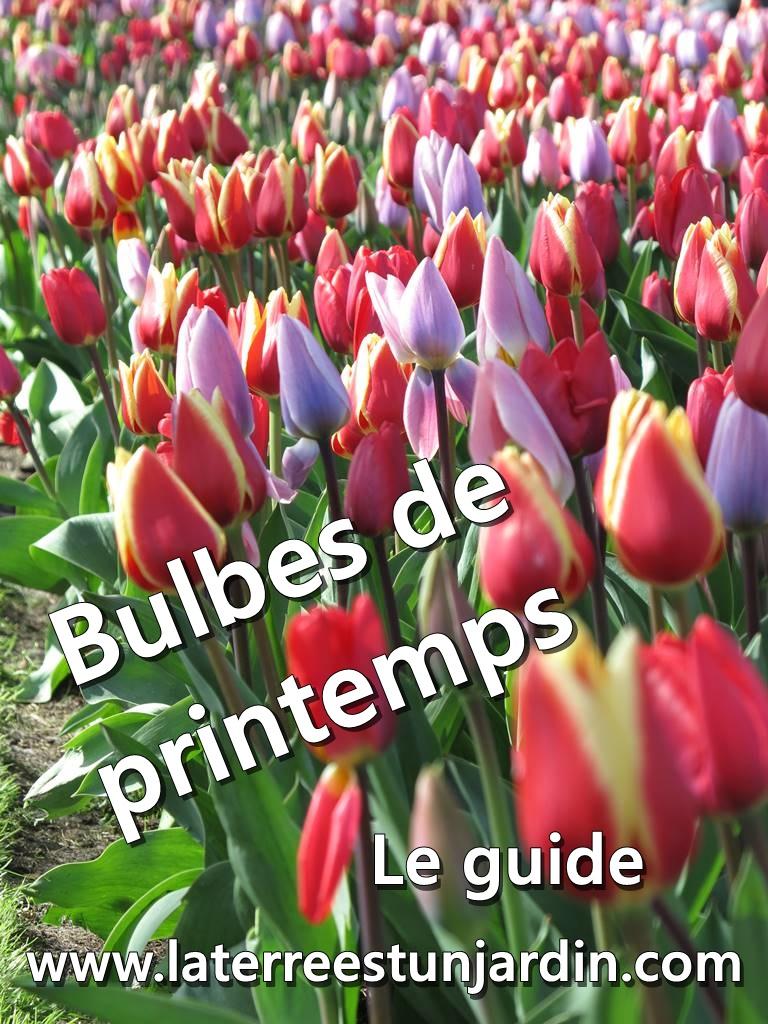 Guide des bulbes à fleurs du printemps