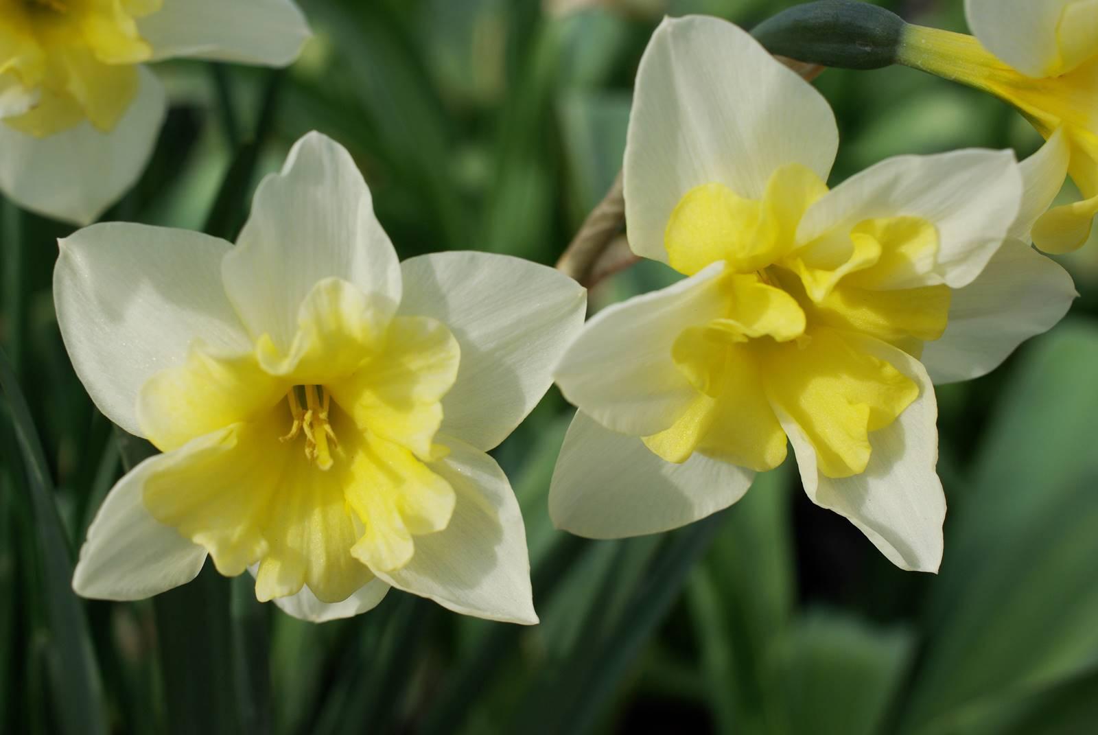 Narcisse et jonquille