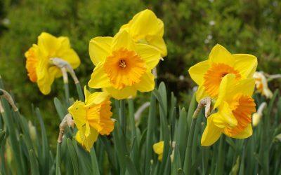 Narcisse et jonquille font le printemps