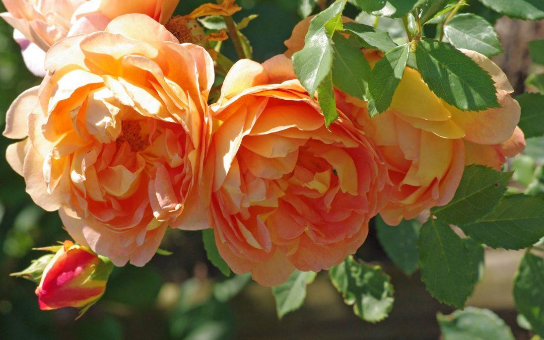 English Roses de David Austin