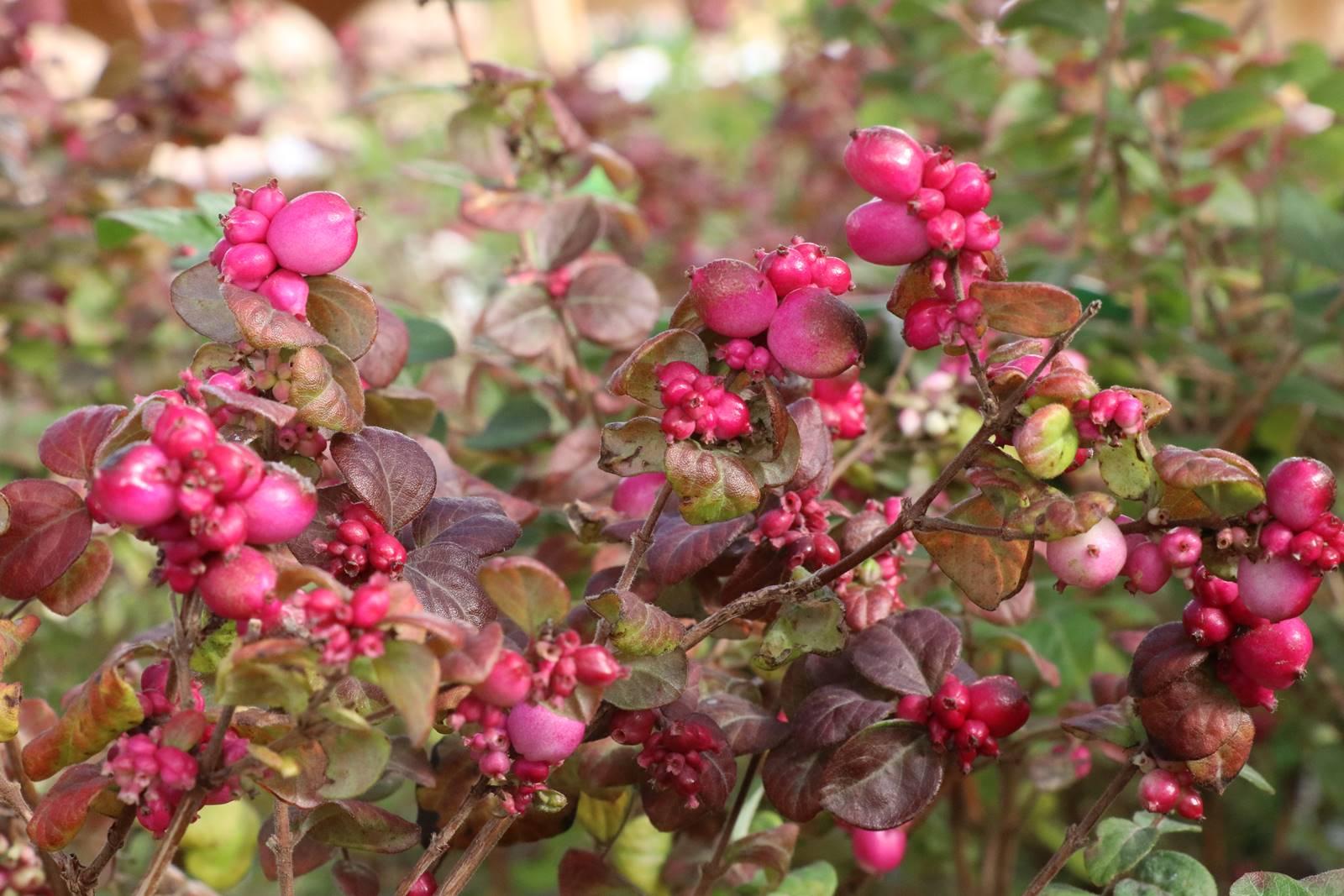 Symphoricarpos x doorenbossi Magical Berry