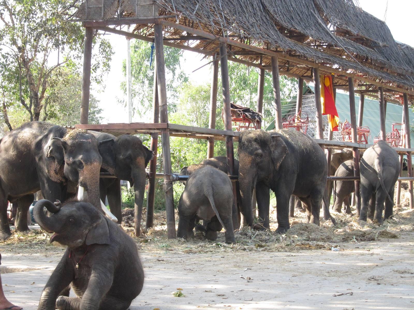 Ayutthaya conservatoire des éléphants (1)