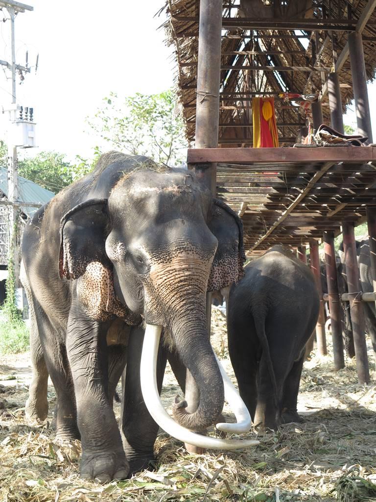 Ayutthaya conservatoire des éléphants (3)