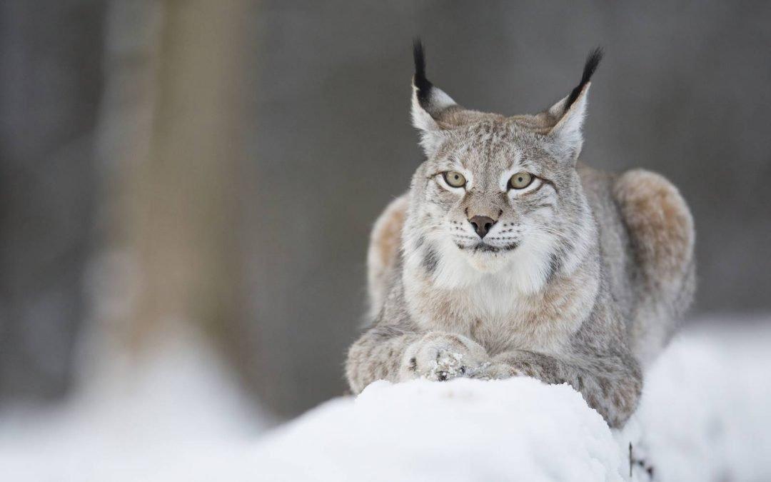 Le Parc Animalier des Grottes de Han en hiver