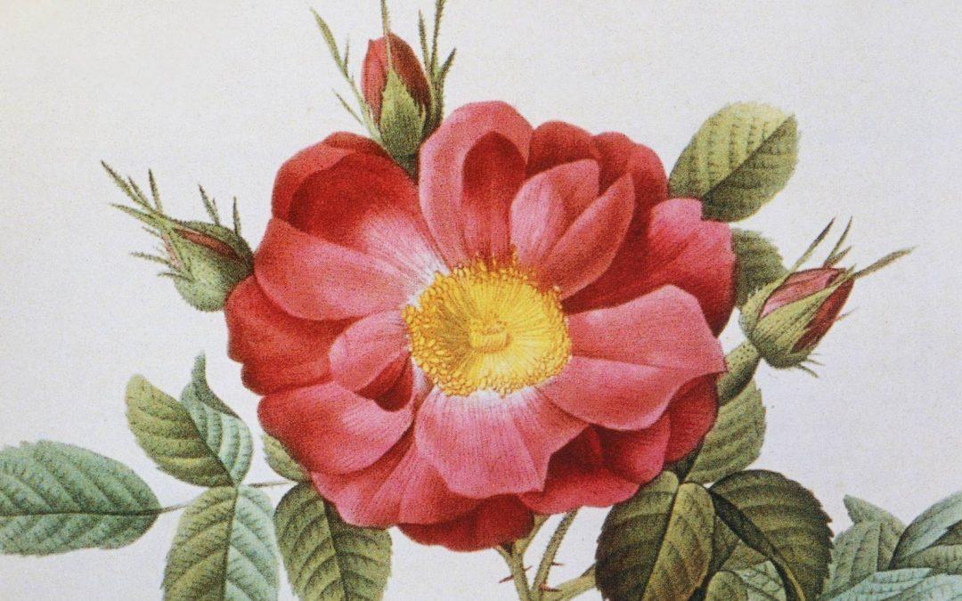 Pierre-Joseph Redouté, le Raphaël des fleurs