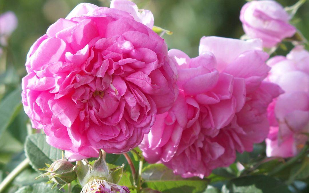 La Rose de Damas
