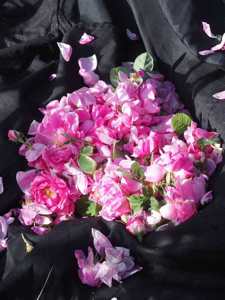 Rose de Damas récolte au Maroc