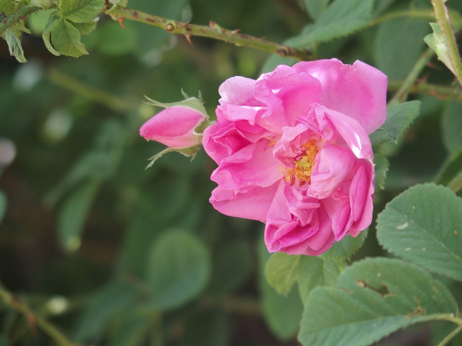 Rose de Damas au Maroc