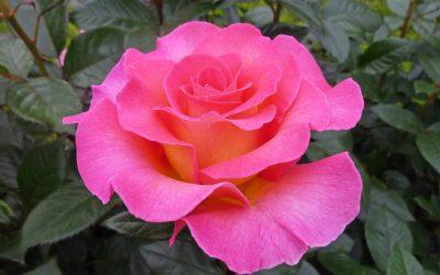 Les grands parfums des roses Delbard