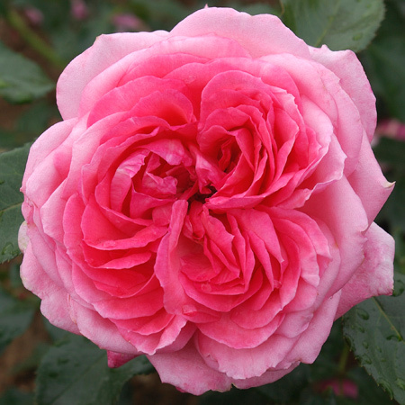 Rosier La rose de Molinard