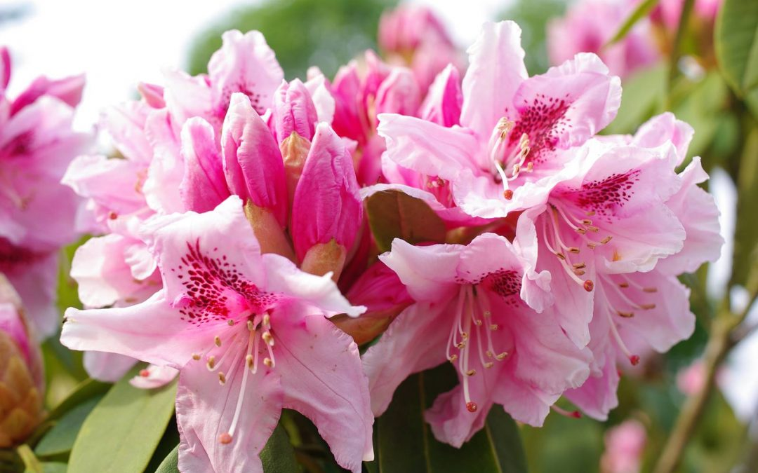 Stanford Gardens, paradis des rhododendrons