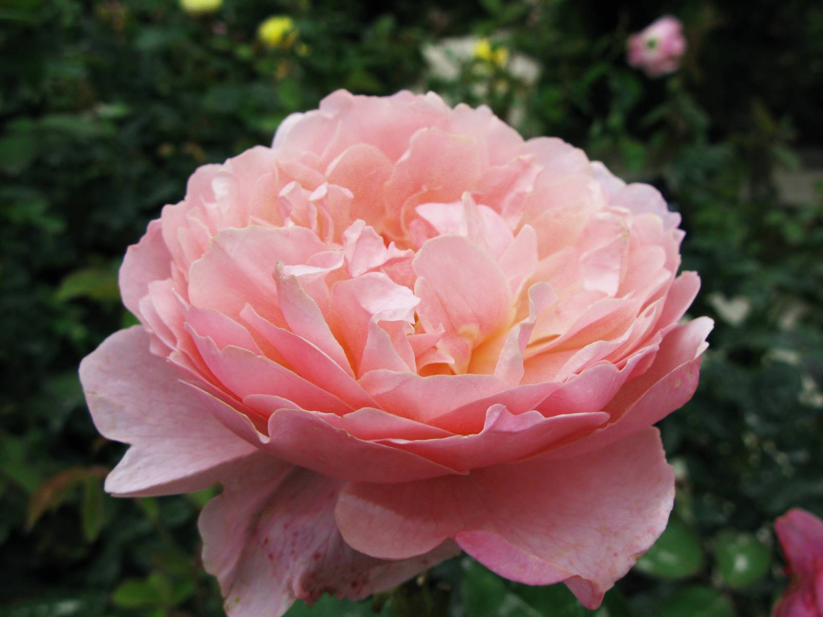 Alnwick Rose David Austin