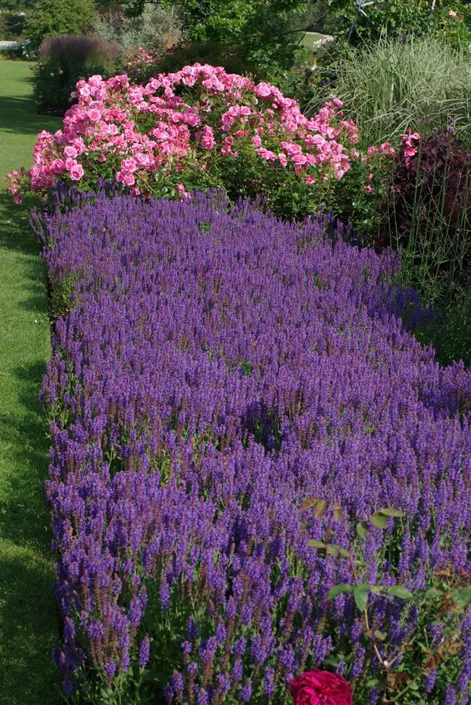 Salvia sylvestris Blue Hill et rosa Armada