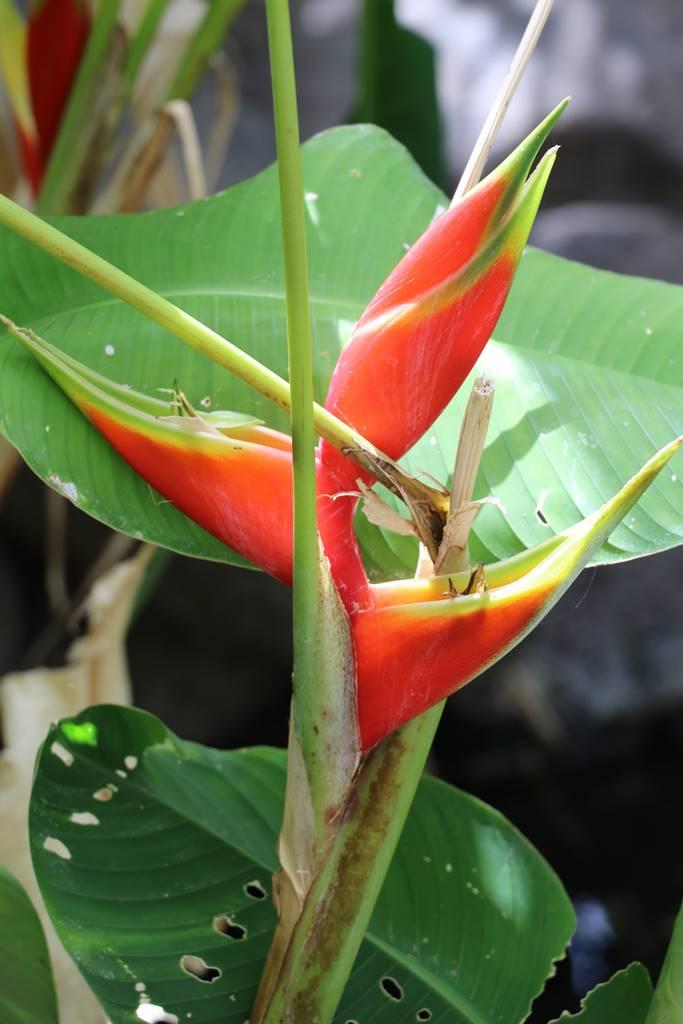La Palma 35 végétation exotique (1)