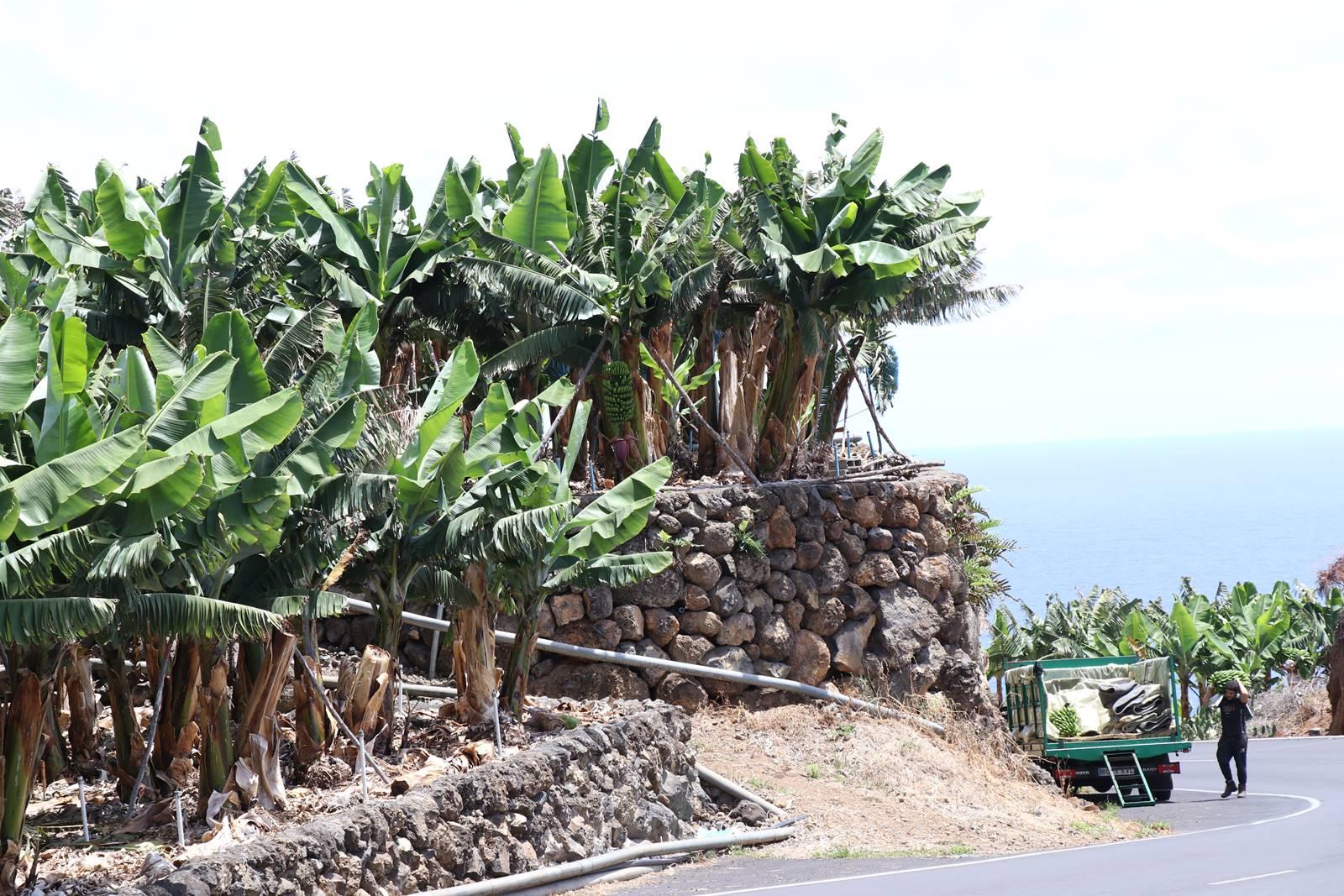 La Palma 9 bananeraies (4)