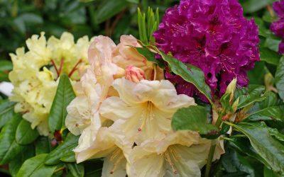 Lea Gardens, jardin de rhododendrons